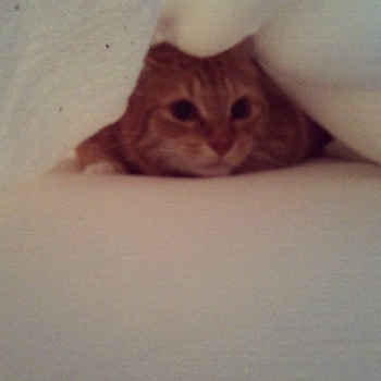 kitty hiding under covers
