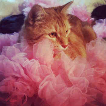 cat on pink ruffled tutu