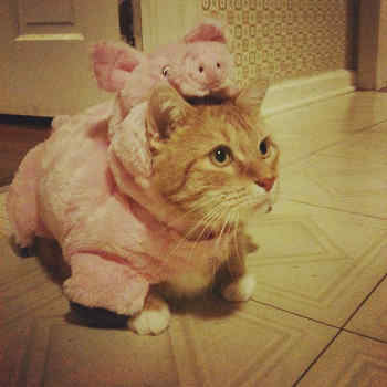 cat in pig costume